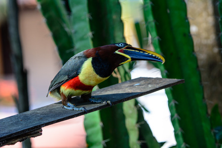 perched: Aracari perched on a branch Stock Photo