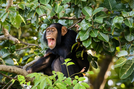 laughing out loud: Chimp laughing out loud in the canopy