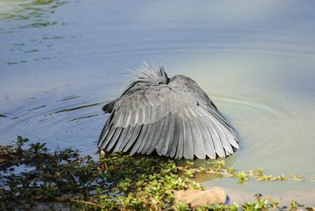 enticing: Black Egret enticing the fish into its trap Stock Photo