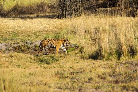 prowl: Tiger prowling in Kanha