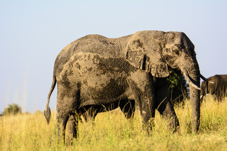 caked: African Elephant caked in mud