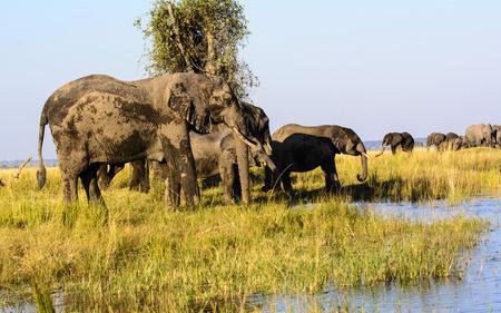 big 5: African Elephants in Chobe Stock Photo