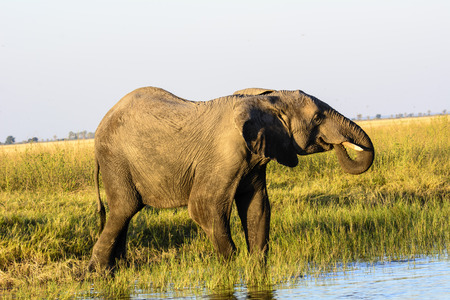 chobe: African Elephant taking a drink from the Chobe river