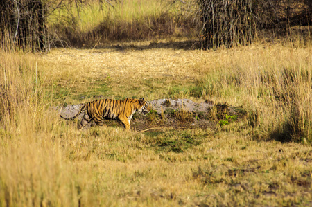 bengal tiger: Bengal Tiger on the prowl in Kanha Stock Photo