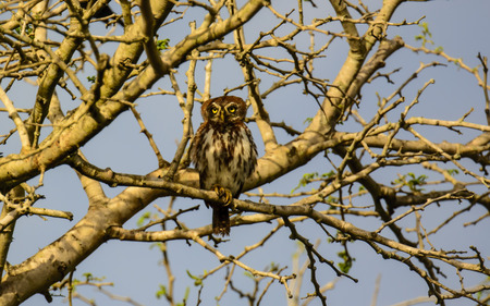 owlet: pearl spotted Owlet sitting in a tree