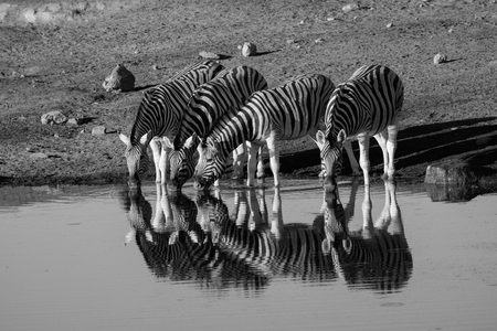 pozo de agua: Drinking Zebras and their reflections at a waterhole in black and white Foto de archivo