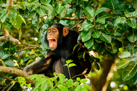 laughing out loud: Chimp laughing out loud