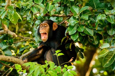 loud: Chimp laughing out loud