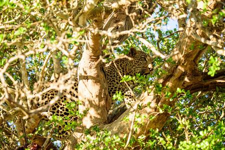 sabi: Leopard hiding in a tree
