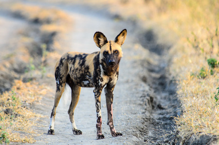 wild dog: African wild dog watching closely