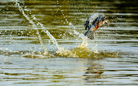 ringed: Successful fishing trip for a Ringed Kingfisher Stock Photo