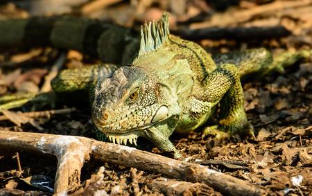 land mammals: Land Iguana on the ground