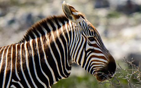 zebra head: Head shot of a Mountain Zebra