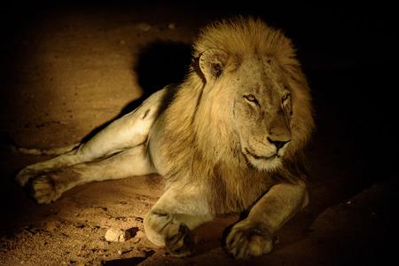 sabi sands: Male Lion on a night safari