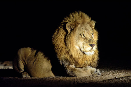 sabi sands: Male Lion lying patiently in the dark Stock Photo