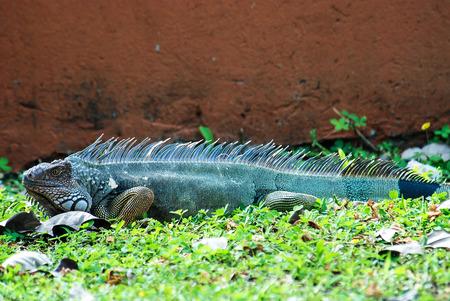 land mammal: Head shot of a Land Iguana Stock Photo