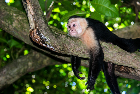 with ease: White faced Capuchin Monkey at ease Stock Photo
