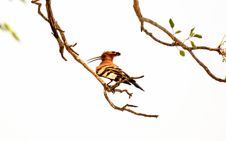 south african birds: African Hoopoe in a tree