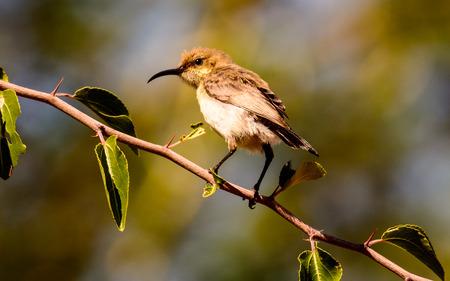 sunbird: Female Amani Sunbird on its perch