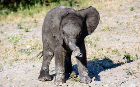 wonky: Elephant calf with a wonky trunk Stock Photo
