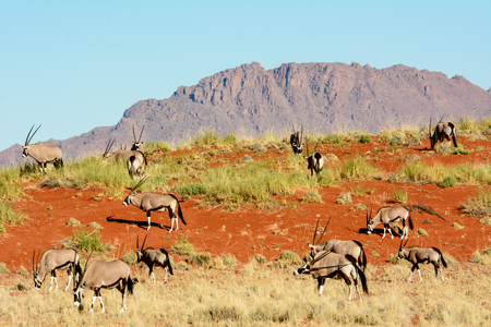 surroundings: Oryx in their natural surroundings Stock Photo