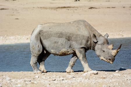 waterhole: Rhino at a waterhole in Etosha