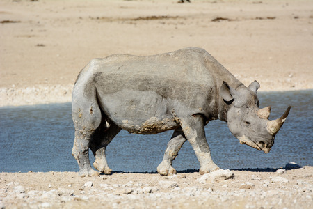 pozo de agua: Rinoceronte en una charca de Etosha