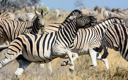 stallions: Zebra stallions causing havoc