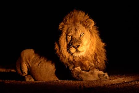 sabi sands: Handsome male lion in the darkness