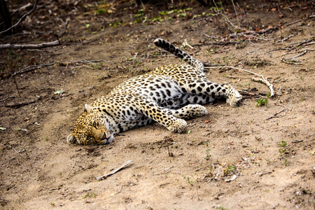 outstretched: Outstretched relaxed female Leopard