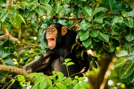 chimp: Chimp having a good laugh