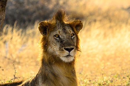 bad hair: Lion with a bad hair day Stock Photo