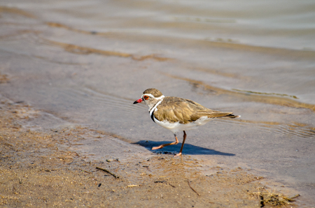 shore line: Three Banded Plover on the shore line