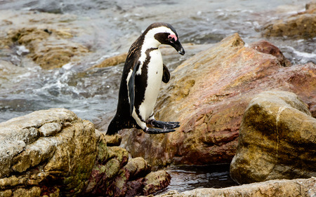 mid air: African Penguin caught in mid air