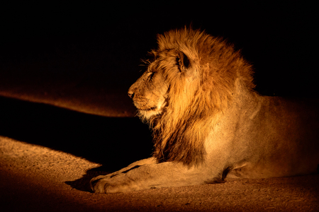 discovered: Male lion discovered on a night safari