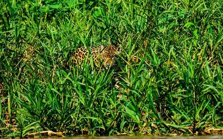 undergrowth: Jaguar hiding in the undergrowth Stock Photo