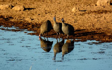 pozo de agua: Guineafowl con casco y sus reflejos en un pozo de agua