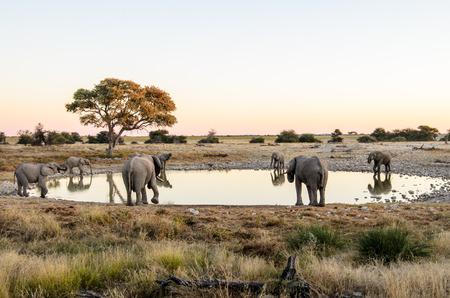 pozo de agua: elefantes africanos bebiendo alrededor de una charca de Etosha Foto de archivo