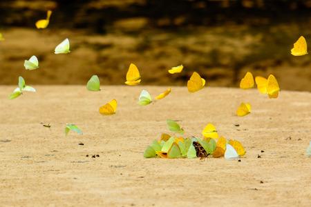 sulphur: Sulphur butterflies seeking salt Stock Photo