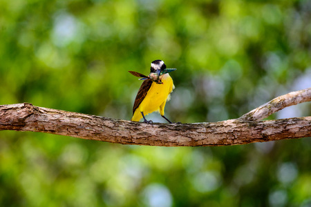 great: Great Kiskadee with lunch