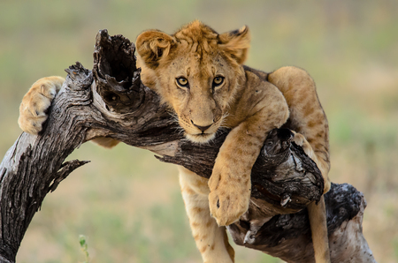 big 5: Young Lion at ease
