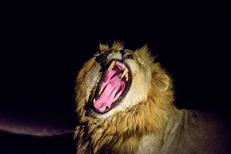 yawning: Male Lion yawning in the darkness