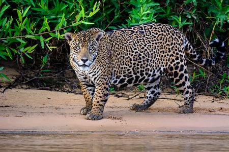 jaguar: Inquisitivo macho Jaguar Foto de archivo