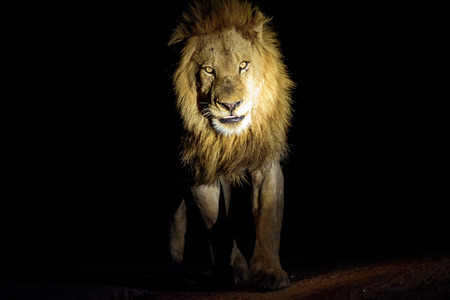 night time: Male Lion on  night time patrol Stock Photo