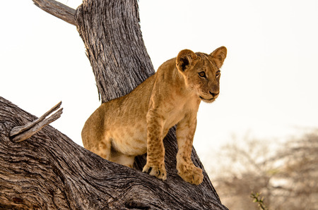 gazing: Young lion gazing down from its vantage point in a tree Stock Photo