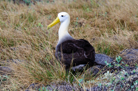 waved: Waved Albatross in the undergrowth