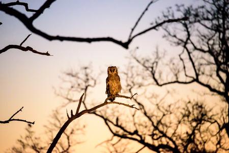 sabi sands: Verreauxs Eagle Owl at dusk Stock Photo