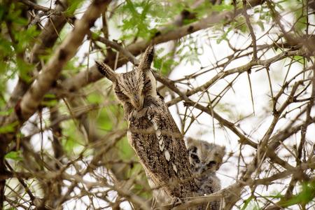 faced: Rare White faced Owl
