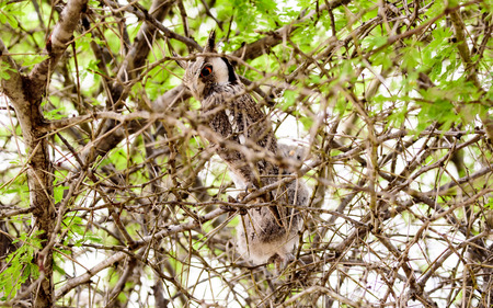 faced: White faced Owl in a tree