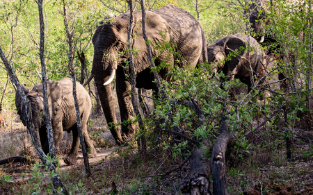 sabi: African Elephants walking through the forest Stock Photo